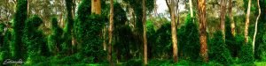 boranup forest margaret river westernt australia
