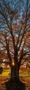 maleny maple tree photo